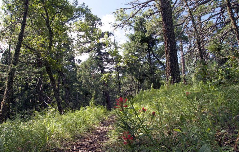 Before the 2013 Silver Fire, areas in the Black Range including the U.S. Forest Service trail to Sawyer's Peak, shown here, were overgrown due to decades of fire suppression by humans.
