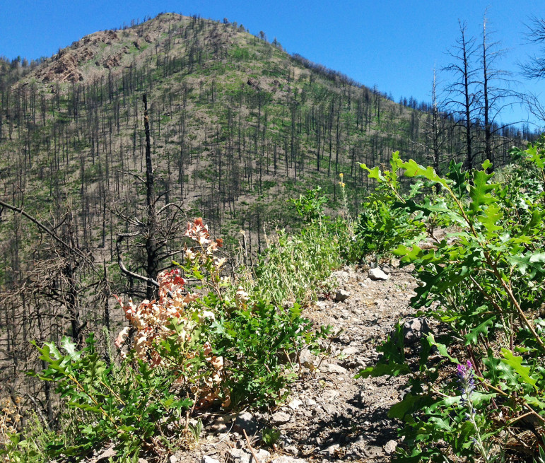 Gambel Oak is sprouting in many areas where ponderosa pines and other trees burned in last year's Silver Fire.