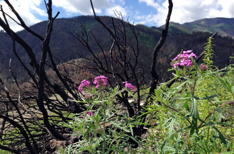 New life began sprouting soon after the Silver Fire. This photo was taken in the fall of 2013.