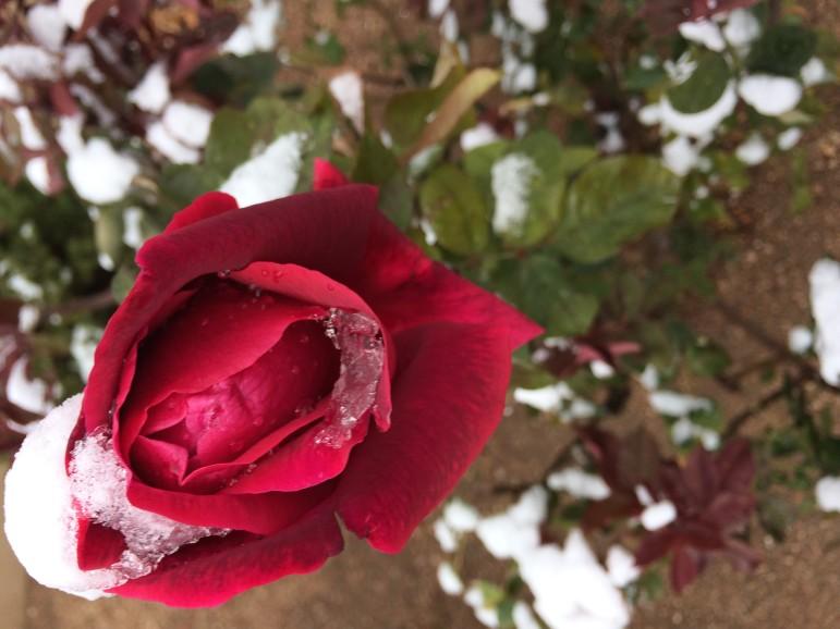 A rose blooming in Santa Fe in early November.