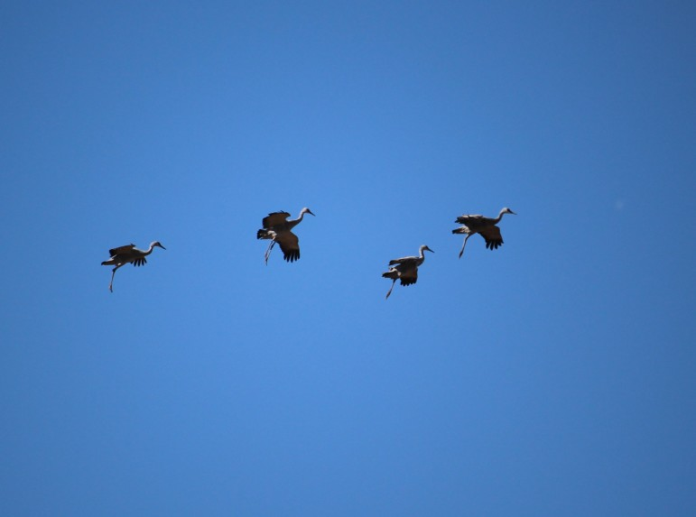 Sandhill cranes come in for a landing.
