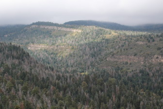 There are thousands of acres of dead conifers in Central New Mexico's Sandia Mountains.